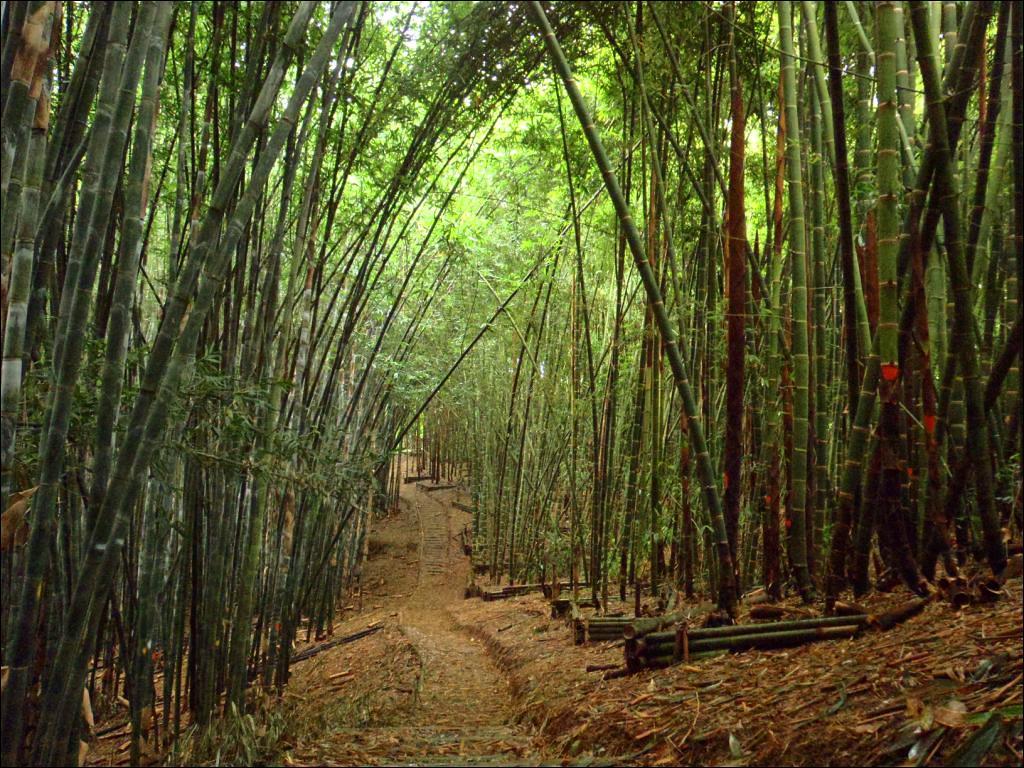 El bambú méxicano
